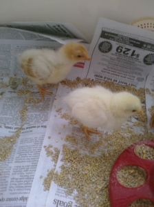 baby_chicks_1
